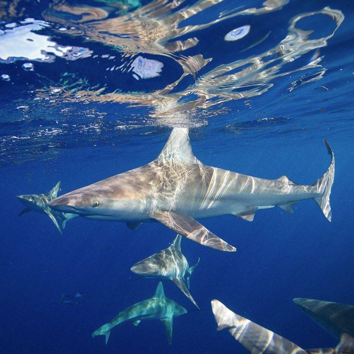 One Ocean Diving Open Water Shark Snorkel